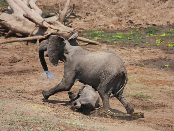 http://www.ahoodie.com/wp-content/uploads/2010/11/A-picture-of-a-baby-elephant-tripping-over-a-crocodile-which-has-just-attacked-its-mother-near-a-water-hole.jpg